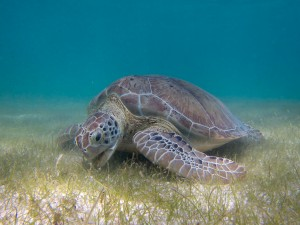 Green_Sea_Turtle_grazing_seagrass