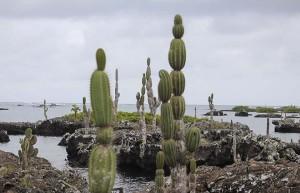 kaktus 660