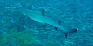 Shark FB