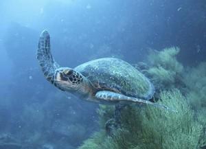 Turtle 2660