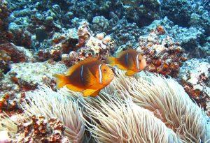 Anemonefish660